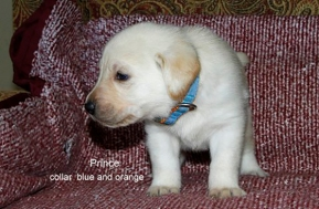 Puppy 16