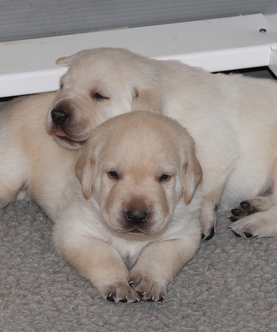 Enchanted Desert Labs | Chocolate, White, Black or Yellow Labs