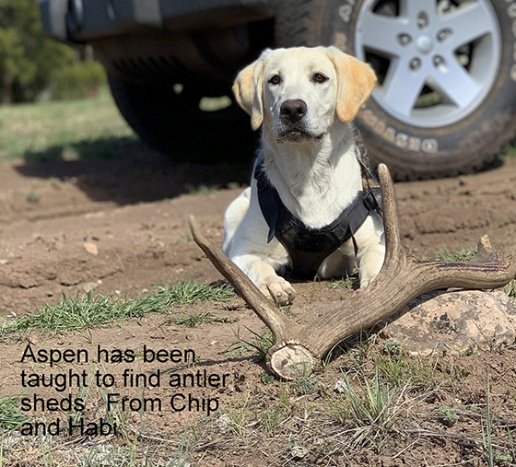 Aspen trained to hunt antlers #2-1